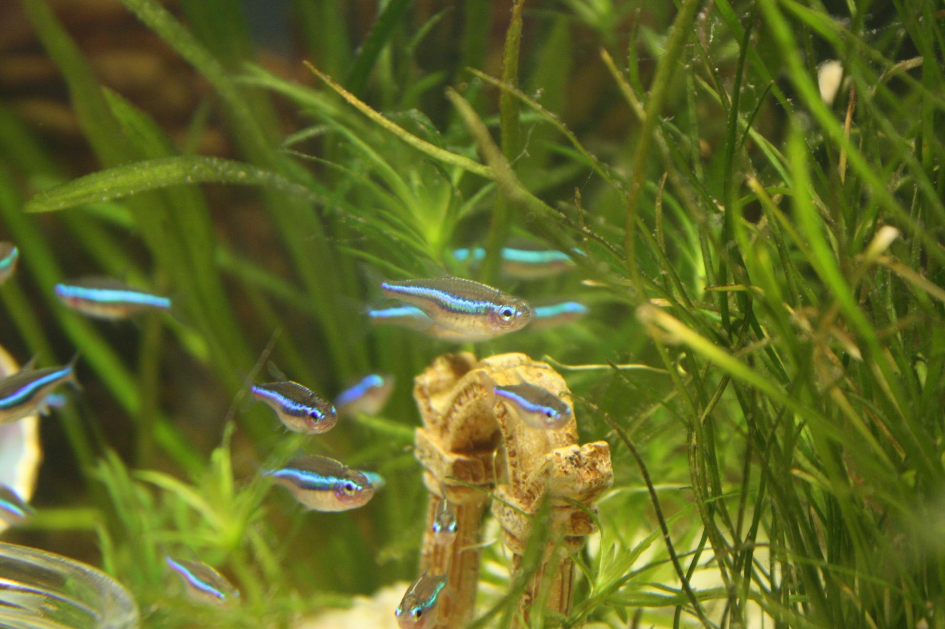 Blaue Neons - Paracheirodon simulans